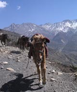 jomsom trail horse