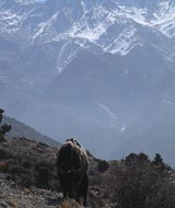 jomsom mountain yak